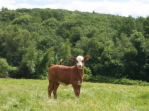 Chestnut Farms Cow